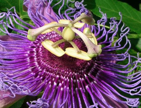 passiflora blu